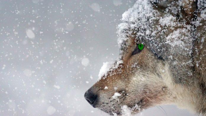 ulv vinter portrett